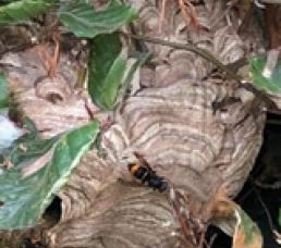 Nest der Asiatischen Hornisse
